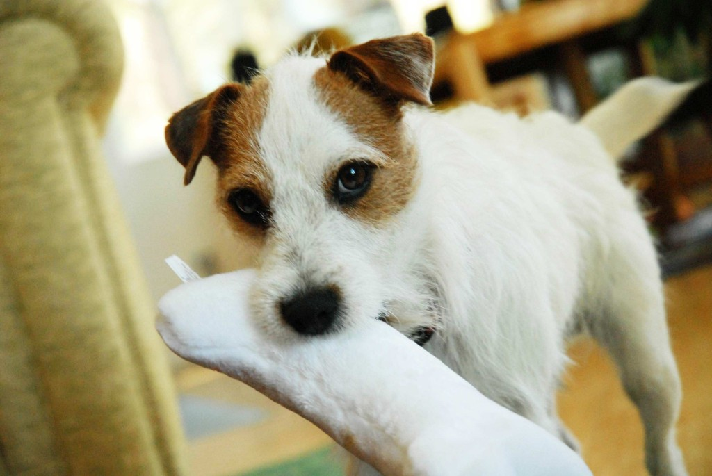 Jack-Russel-with-toy