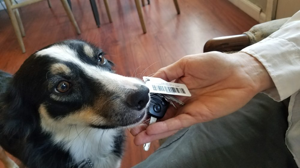 Border Collie retrieving car keys - service dog in training available for sale