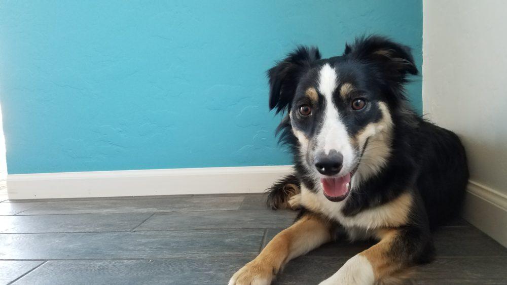 Border Collie Service Dog for Sale